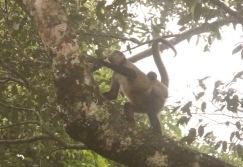 *Monkeys2 062819 Rincon De La Vieja National Park