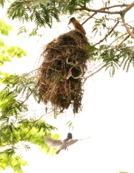 Rose-throated Becard entering nest