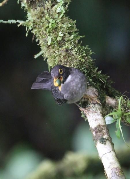 Slaty-backed Nightingale Thrush