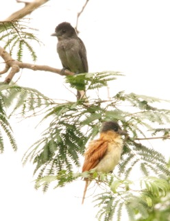 Rose-throated Becards