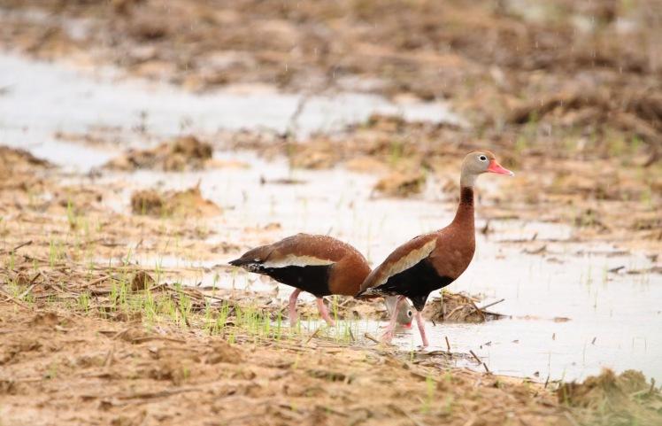 Black-bellied Whistling Ducks1 051119 BKNWR.JPG