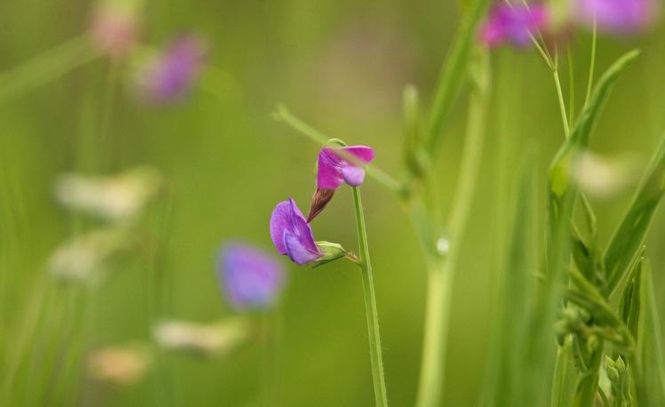 Flower2 (winter vetch) 051119 BKNWR.JPG