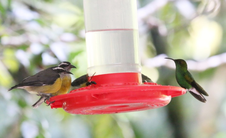 Bananaquit, Coppery-headed Emerald