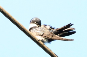 Blue and White Swallow