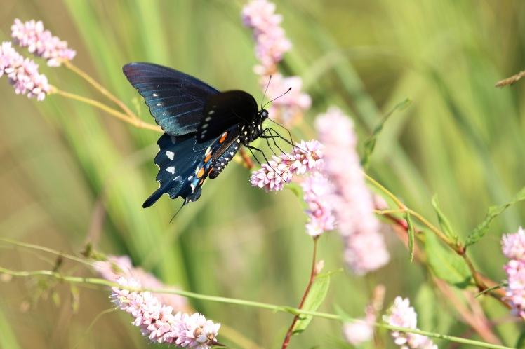 Butterfly 091419 BKNWR.JPG