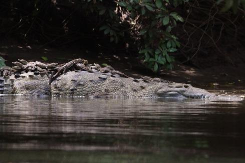 *Crocodile 01 060119 Bebedero River Boat Ride