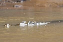 *Crocodile 11 060119 Bebedero River Boat Ride
