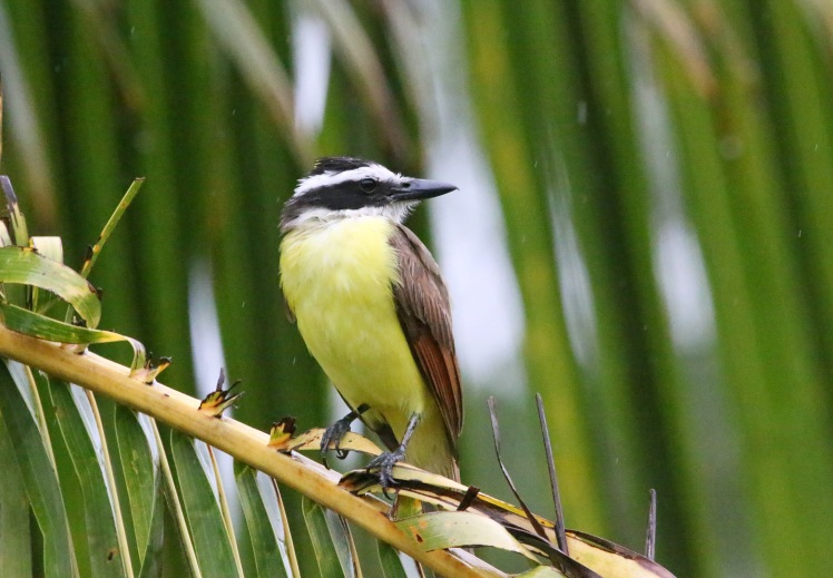Great Kiskadee 052619 Hacienda Guachipelin