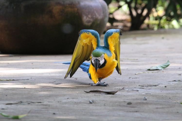 *Macaw 01 060119 Guanacaste