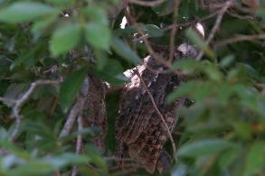 Pacific Screech Owls