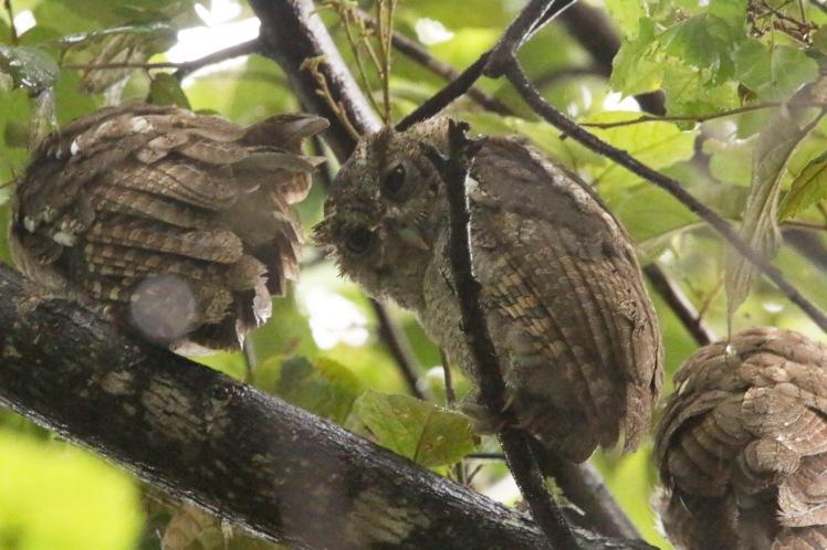 Pacific Screech Owl2 052719 Costa Rica (Guanacaste)