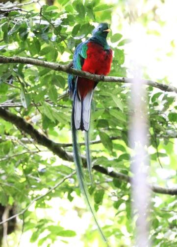 *Resplendent Quetzal4 053019 Monteverde Cloud Forest