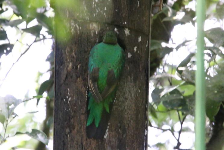*Resplendent Quetzal6 053019 Monteverde Cloud Forest