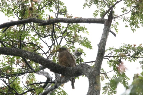 Roadside Hawk being bombed by a White-lored Gnatcatcher