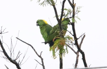 Yellow-Naped Parrots