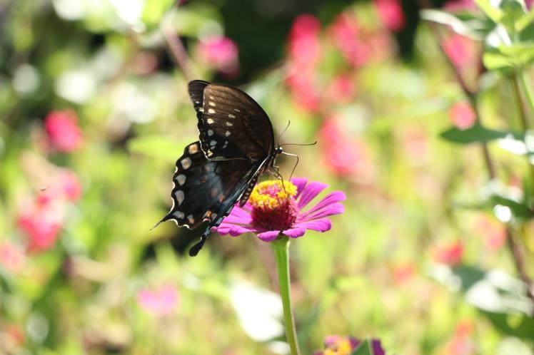 Butterfly8 ASU Gardens 073017