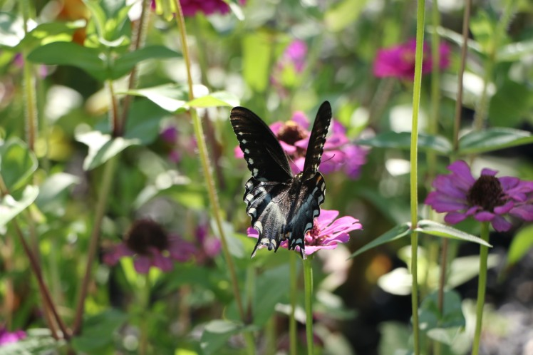 Butterfly9 ASU Gardens 073017