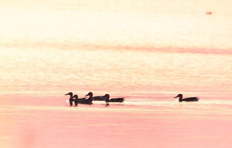 Duck 090119 BKNWR