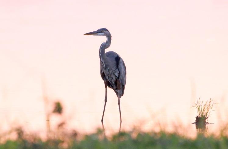 Great Blue Heron 090119 BKNWR