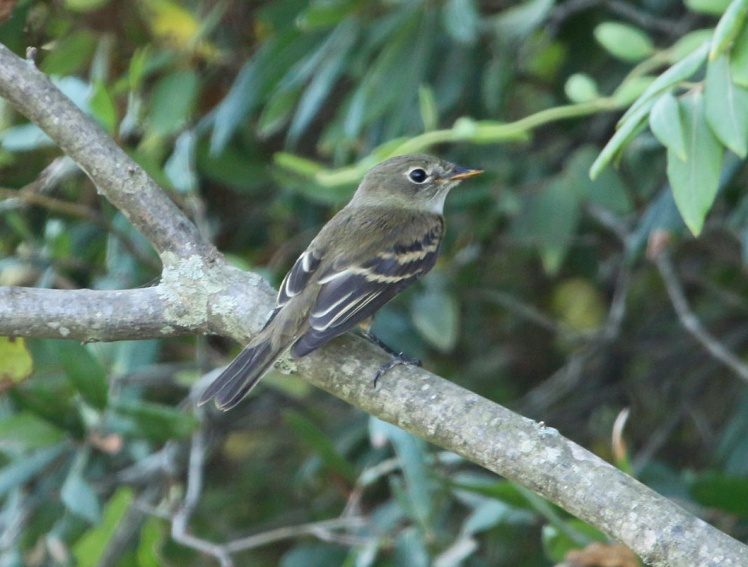 Least Flycatcher BKNWR 090819.JPG