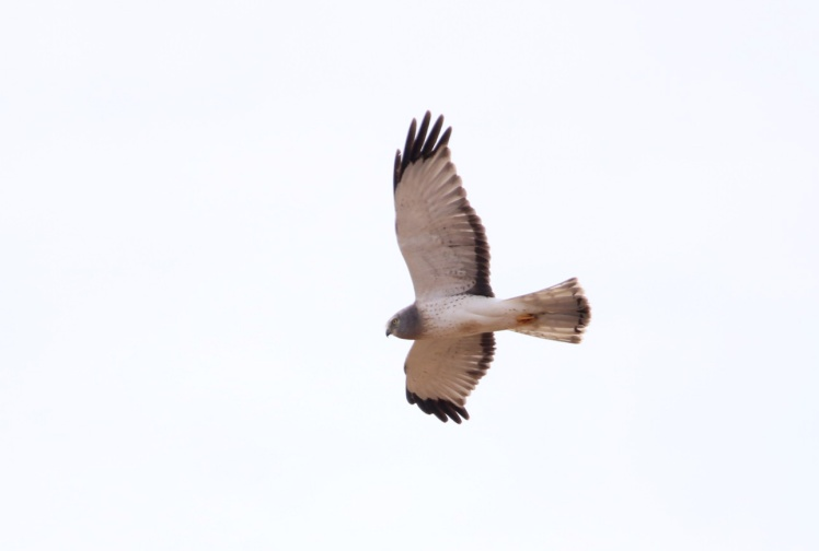 Northern Harrier2 111719 BKNWR.JPG