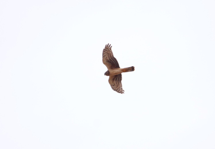 Northern Harrier3 111719 BKNWR.JPG