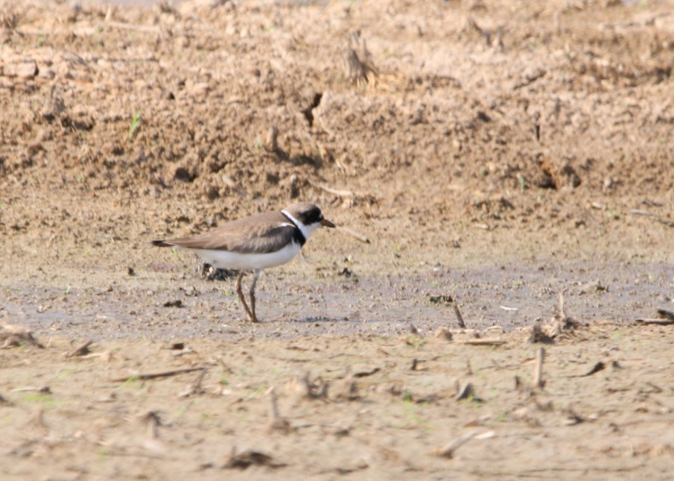semipalmated plover 090119 BKNWR.JPG