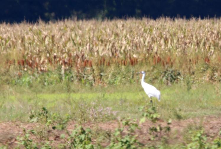 Whooping Crane 101319.JPG