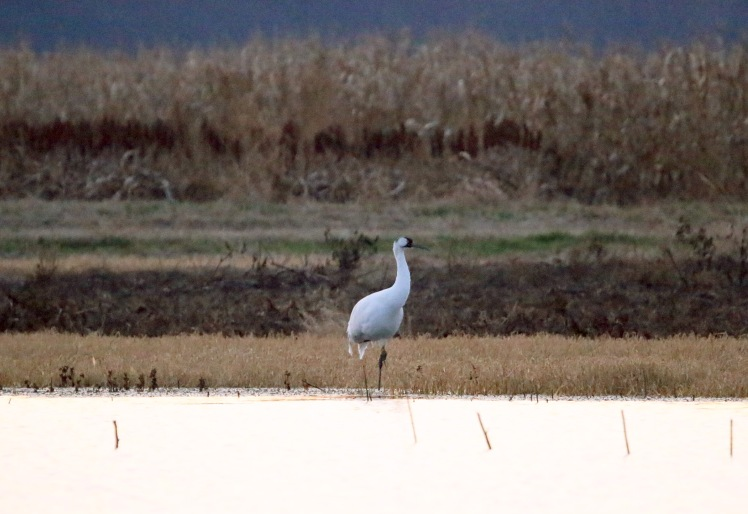 Whooping Crane4 Holla Bend WNR 111319.JPG