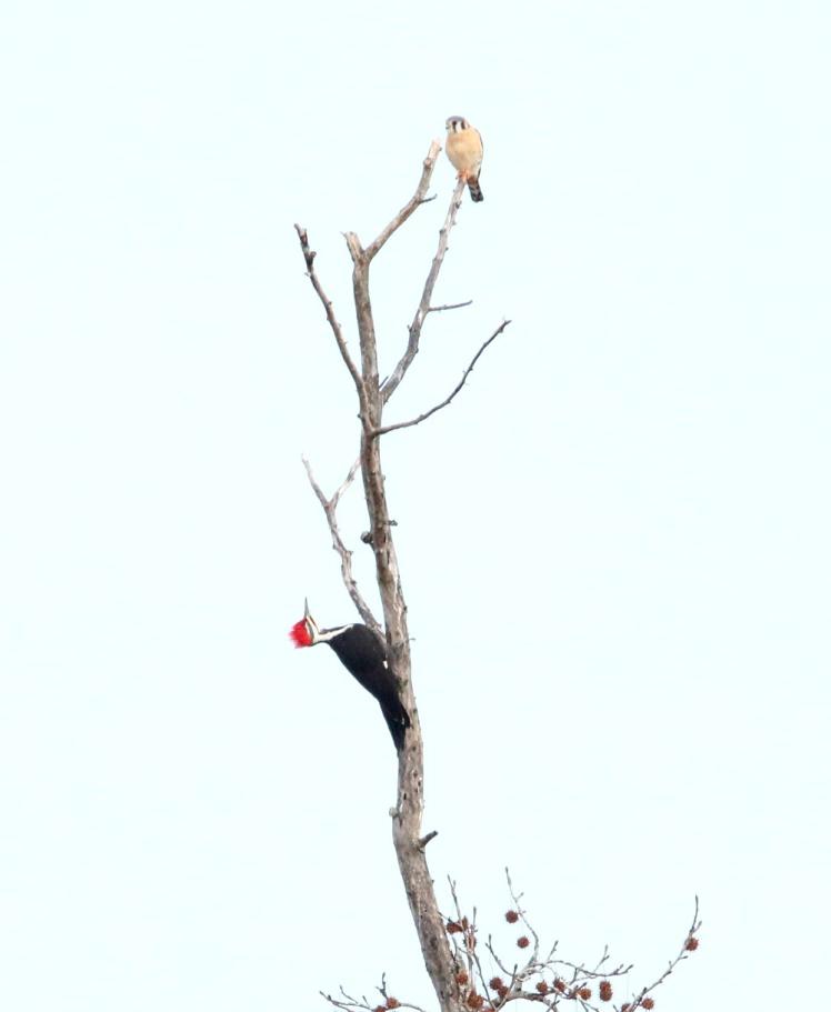 American Kestrel, Pileated Woodpecker 121419 LR CBC_Russenberger Road
