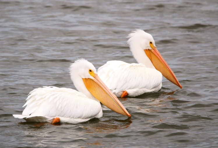 American Pelican 122119 Lake Saracen, Pine Bluff