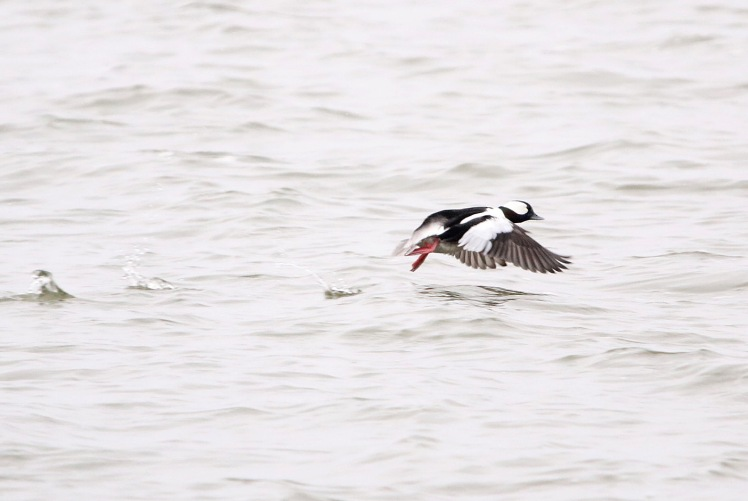 Bufflehead3 122219 Lake Saracen, Pine Bluff