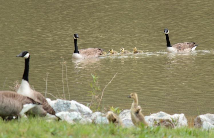 Canada Geese2 043016 Jonesboro.JPG