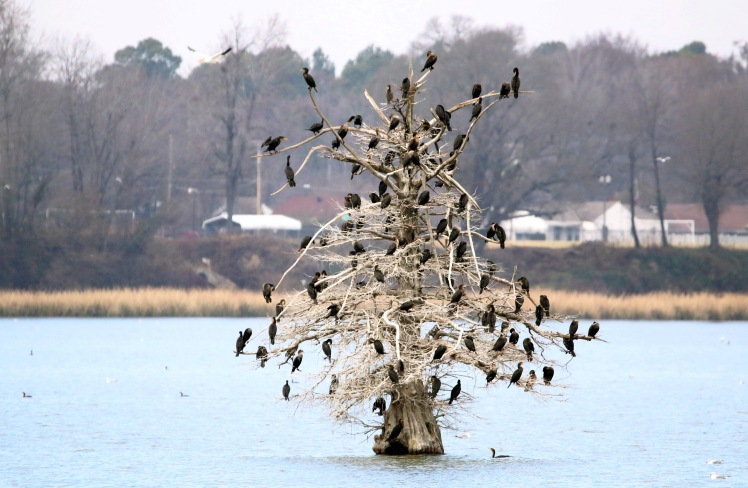 Double-crested Cormorant2 122119 Lake Saracen, Pine Bluff