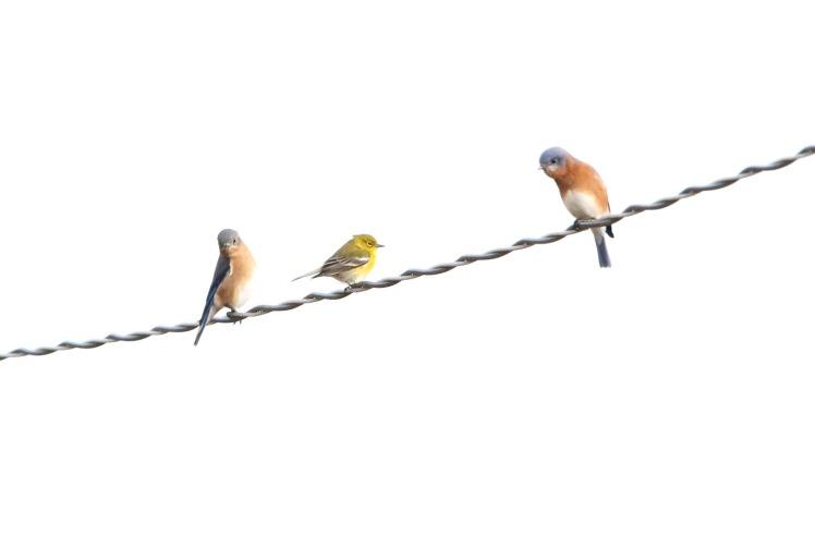 Eastern Bluebird, Pine Warbler 121419 LR CBC_Russenberger Road