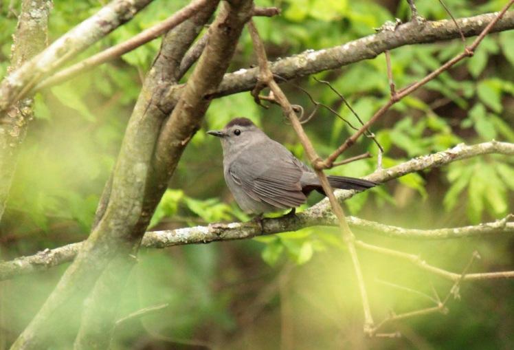 Gray Catbird 043016 Jonesboro.JPG