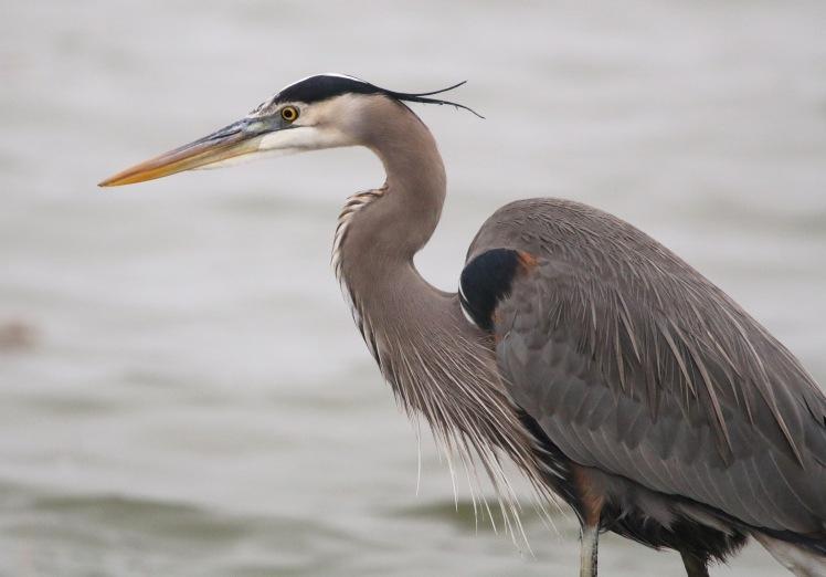 Great Blue Heron1 122219 Lake Saracen, Pine Bluff