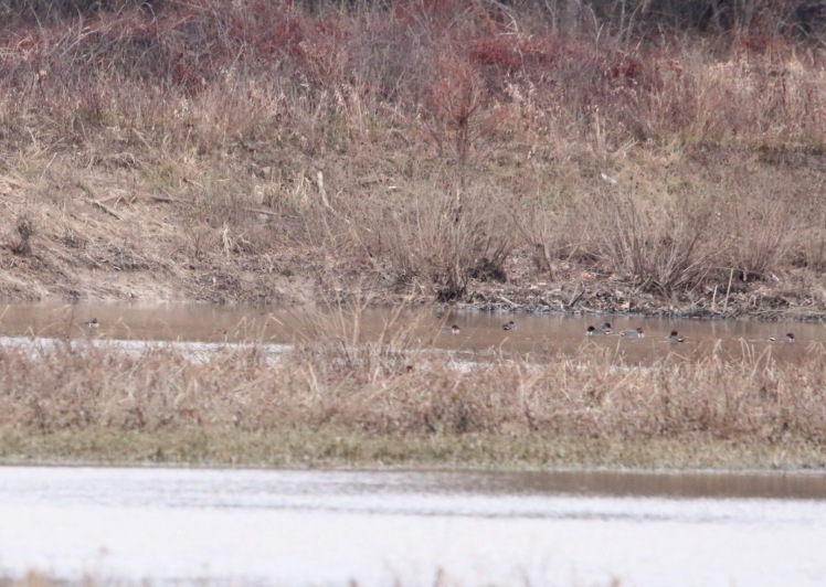 Green-winged Teal 121419 LR CBC_Fourche Bottoms_Borrow Ponds