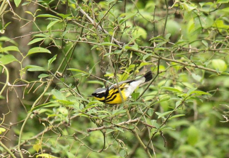 Magnolia Warbler 043016 Jonesboro