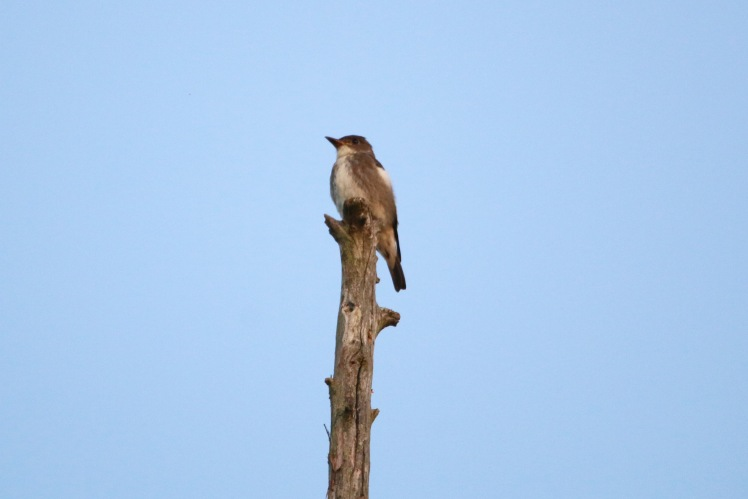 Olive-sided Flycatcher 092819PM BKNWR
