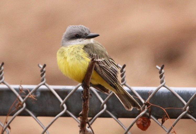 Tropical Kingbird1 122219 Lake Saracen, Pine Bluff