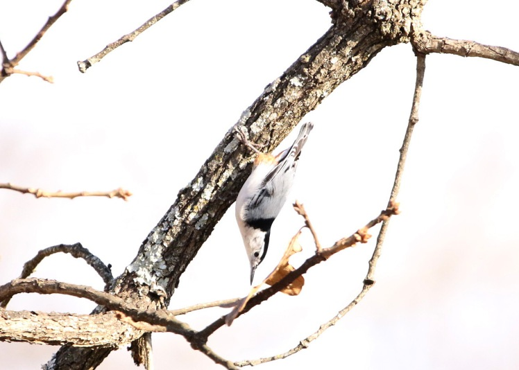 White-breasted Nuthatch1 122219 Little Rock