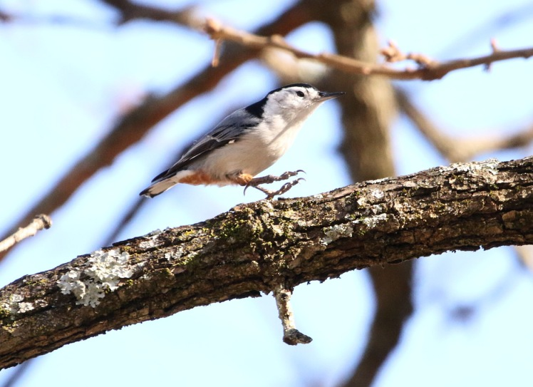 White-breasted Nuthatch2 122219 Little Rock.JPG