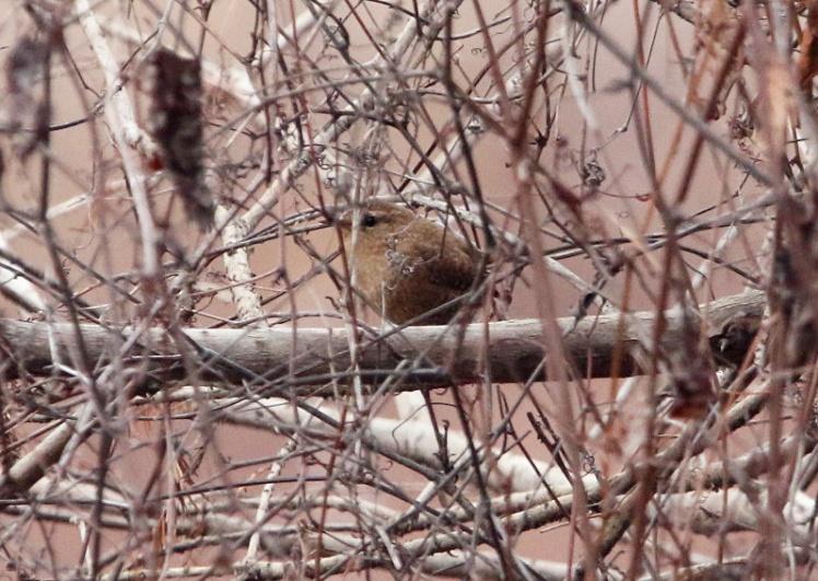 Winter Wren 121419 LR CBC_Fourche Bottoms_Borrow Ponds