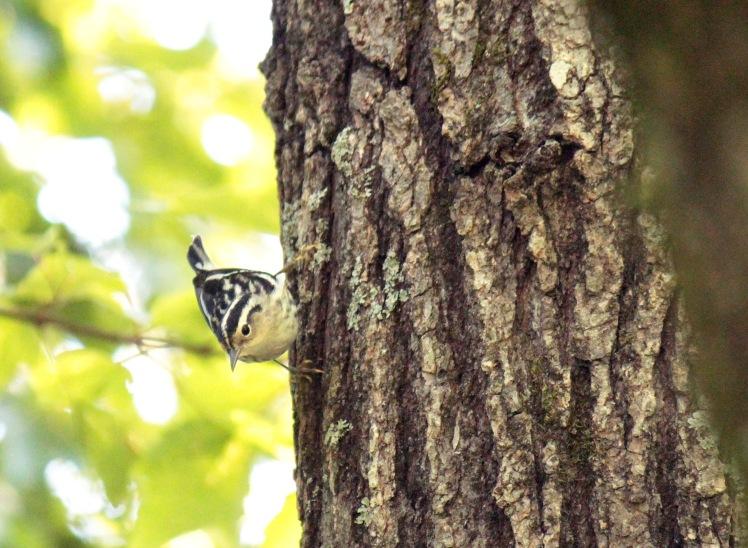 Black and White Warbler 050616 Jonesboro.JPG