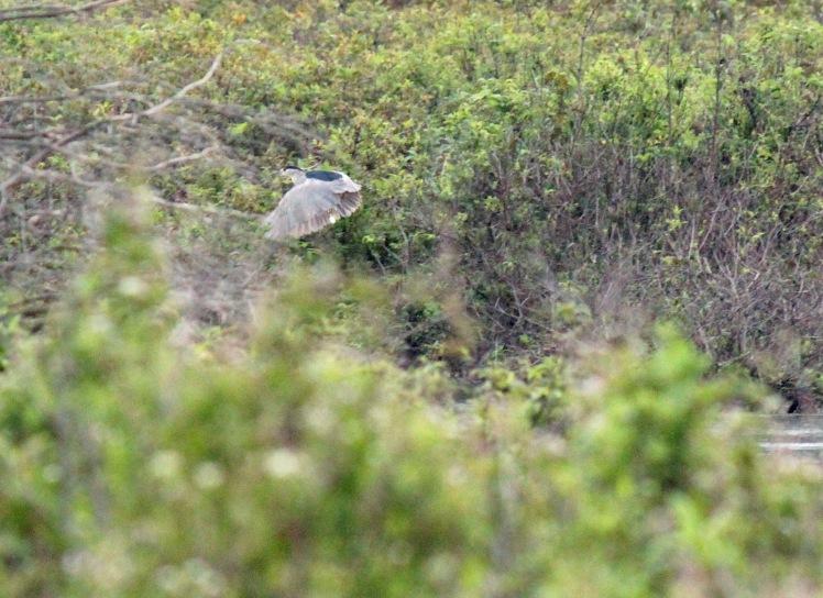 Black-crowned Night Heron 083014.jpg
