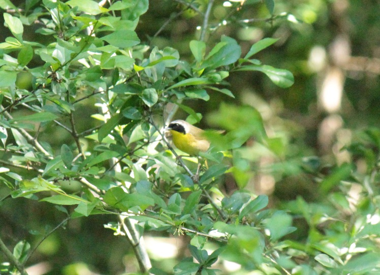 Common Yellowthroat Warbler 050616 Jonesboro
