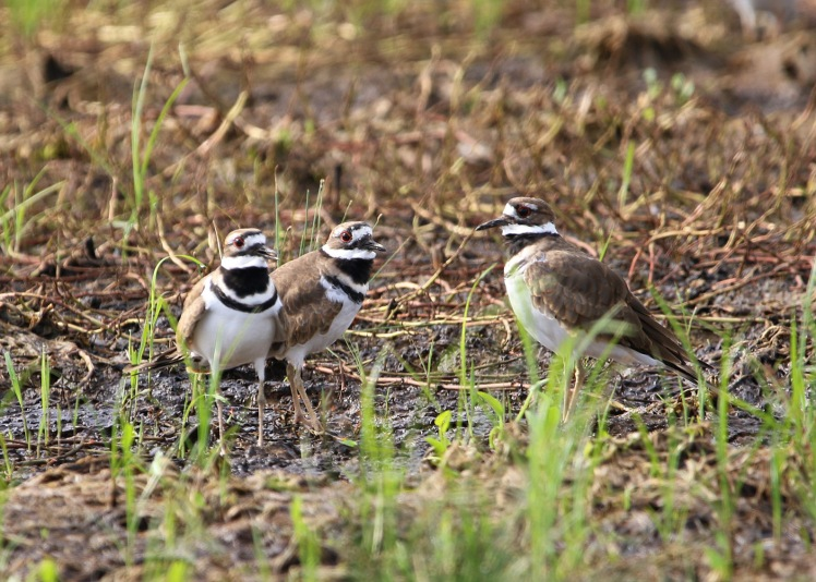 Killdeer 092819AM BKNWR
