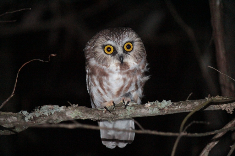 Saw-Whet Owl Banding 01 at Ozark Natural Science Center 110815.JPG
