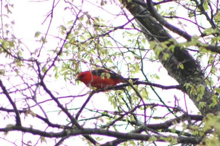 Scarlet Tanager 042118.JPG